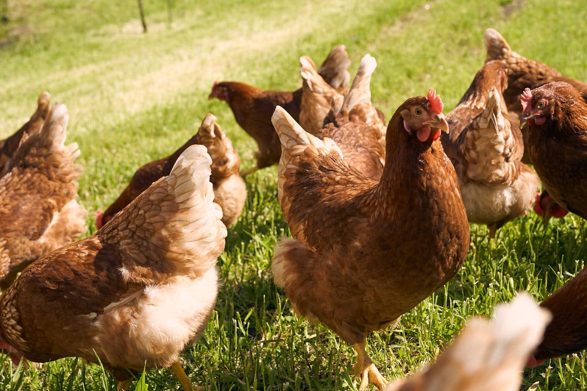 huehner-bio-eier-biohof-gavadura-SDS04941