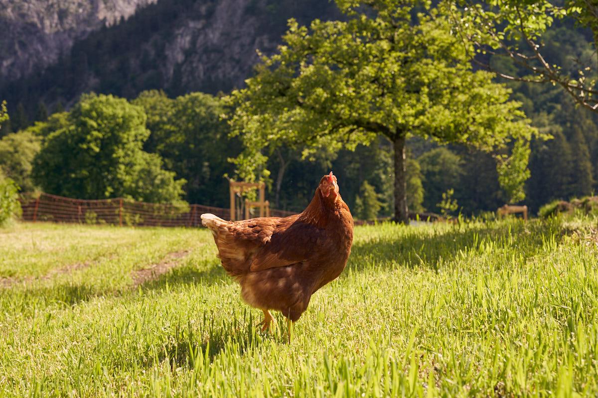 huehner-bio-eier-biohof-gavadura-SDS04958
